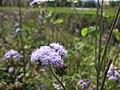 Starr-130322-3790-Ageratum houstonianum-flowers-Hanalei NWR-Kauai (25209692255).jpg
