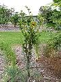 Starr-130504-4393-Citrofortunella microcarpa-habit-Hawea Pl Olinda-Maui (25184310996).jpg