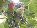 Starr-140711-1039-Cordia subcordata-tree with love birds-Kanani Rd Kihei-Maui (24876787149).jpg