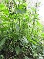 Starr-160122-3523-Crassocephalum crepidioides-Secusio extensa larva feeding on leaves-Hawea Pl Olinda-Maui (26947146395).jpg