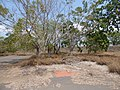 Starr-160324-0581-Ficus benjamina-relic nursery perhaps-Kihei-Maui (26887237331).jpg