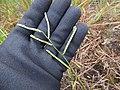 Starr-170727-0534-Paspalum scrobiculatum-seedheads-Makamakaole-Maui - Flickr - Starr Environmental.jpg