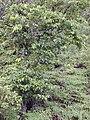 Starr 020925-0032 Antidesma platyphyllum.jpg