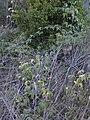 Starr 021126-0003 Rubus glaucus.jpg