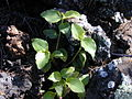 Starr 030202-0011 Commelina benghalensis.jpg