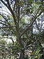 Starr 040812-0032 Acacia confusa.jpg