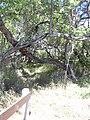 Starr 040902-0029 Prosopis pallida.jpg