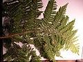 Starr 050131-3415 Nothoperanema rubiginosa.jpg