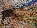 Starr 050427-1022 Cyperus javanicus.jpg
