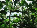 Starr 061105-1340 Psydrax odorata.jpg