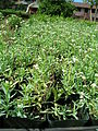 Starr 061108-9681 Heliotropium curassavicum.jpg