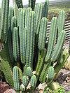 Starr 070320-5799 Echinopsis pachanoi
