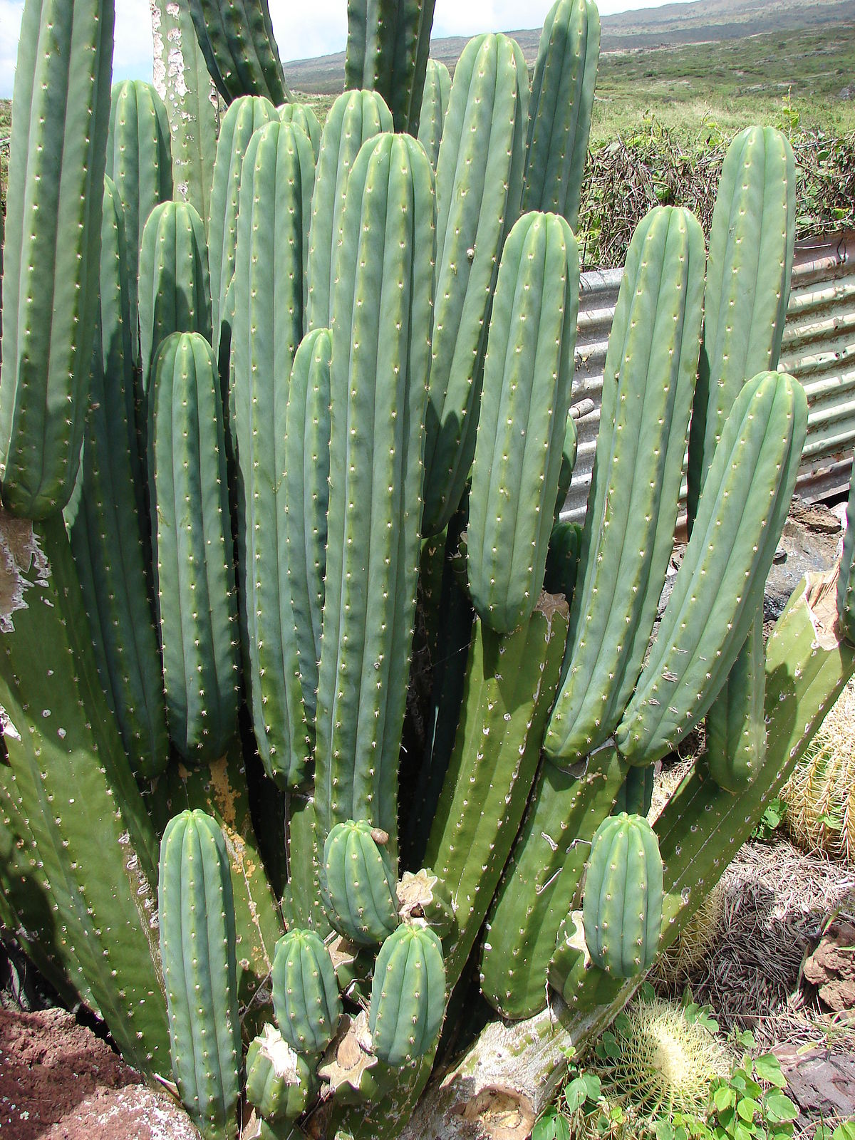 Echinopsis pachanoi wikipedia for Cactus variedades