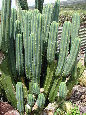 Echinopsis pachanoi - Echinopsis pachanoi in Hawaii