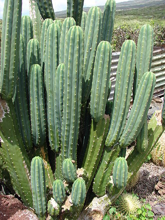 Echinopsis pachanoi - Echinopsis pachanoi in Hawaii