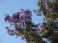 Starr 070519-7132 Jacaranda mimosifolia.jpg