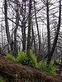 Starr 070908-9149 Sequoia sempervirens.jpg