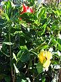 Starr 080103-1199 Hibiscus rosa-sinensis.jpg