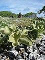 Starr 080603-5627 Solanum nelsonii.jpg