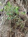 Starr 080607-7096 Ficus microcarpa.jpg