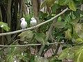 Starr 080610-9498 Ficus benghalensis.jpg