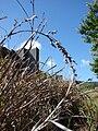 Starr 090213-2478 Unknown cyperaceae.jpg
