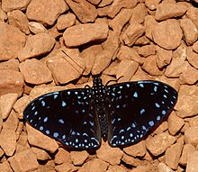 Starry Night (Hamadryas laodamia) butterfly.jpg