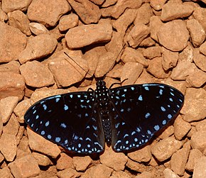 Description de l'image Starry Night (Hamadryas laodamia) butterfly.jpg.