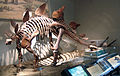 Stegosaurus at the Field Museum.jpg