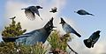 Stellers Jay From The Crossley ID Guide Eastern Birds.jpg