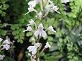 Stenoglottis woodii -英格蘭 Wisley Gardens, England- (9229786244).jpg