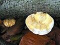 Stereum subtomentosum JPG1.jpg