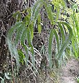 Sticherus rubiginosus 1.jpg