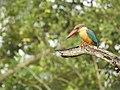 Stork billed kingfisher-kannur-kattampally - 5.jpg