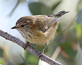 Striated thornbill.JPG