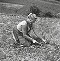 """Strnišče in plevel pleje s """"pralco"""" na njivi, kjer raste korenje, pri Mohorju, Javorje 1960.jpg"""