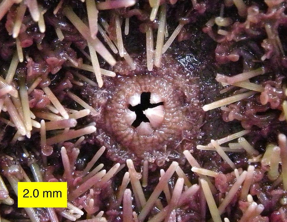 Strongylocentrotus purpuratus 020313