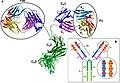Structure of antibody molecule.jpg