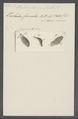 Stylonychia pustulata - - Print - Iconographia Zoologica - Special Collections University of Amsterdam - UBAINV0274 113 18 0008.tif