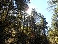 Sun and Pine.jpg