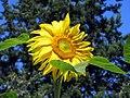 Sunflower (11446101346).jpg
