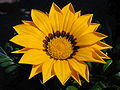 Sunflower 108.jpg