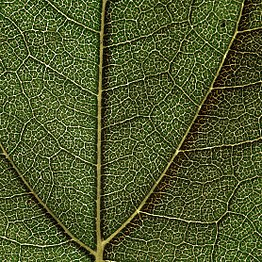 Sunflower leaf structure