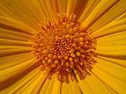 Sunflower perumathura.jpg
