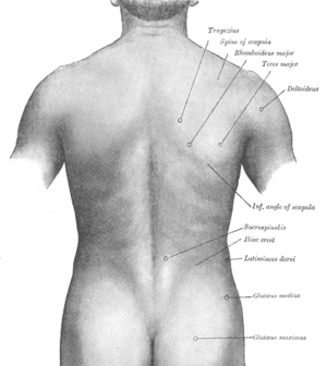 Costovertebral angle tenderness - Image of a human back