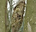 Sycamore with rotting branch.JPG