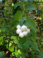 Symphoricarpos albus fruits.jpg
