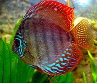 Symphysodon discus 02.jpg