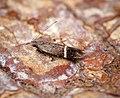 Syncopacma ochrofasciella (36814077841).jpg