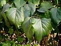 Syringa vulgaris (4).jpg